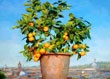Orange tree Rome (70cm x 60cm)